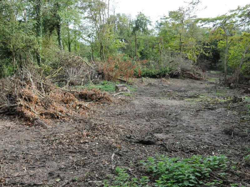 Coupe sanitaire de 745 frênes au bois d'Haringzelles.