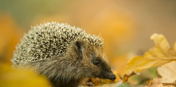 European hedgehog in autumn leaves, with clean background, Czech Republic, Europe
