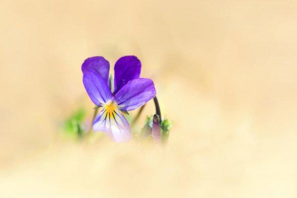 Violette de curtis